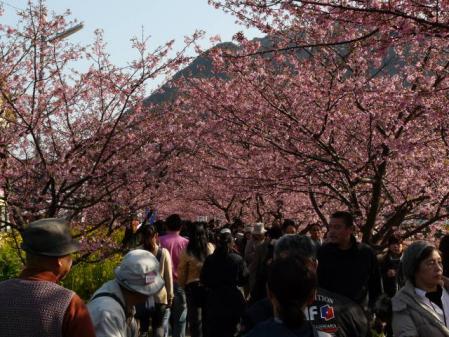 2011-2-26 河津桜0059