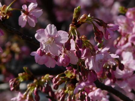 2011-2-26 河津桜0056
