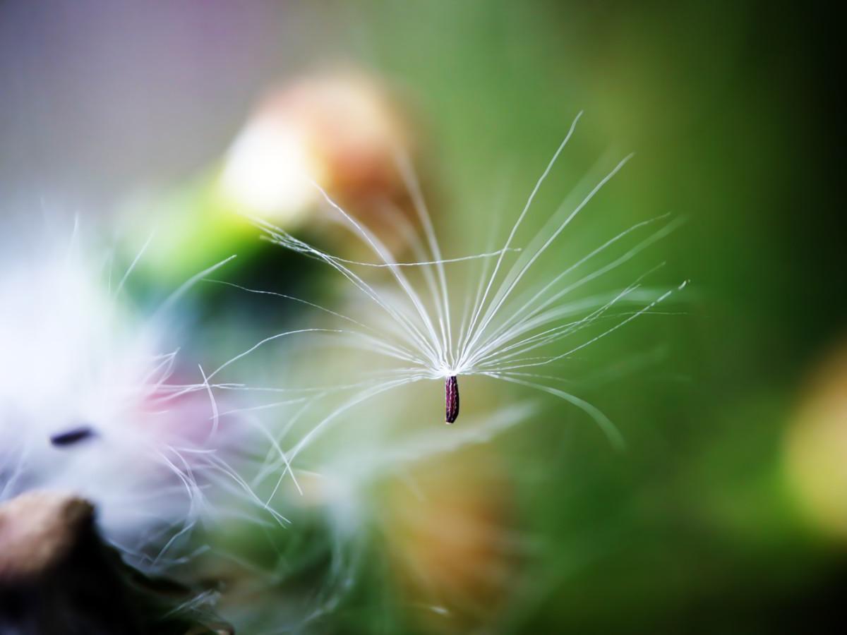 ベニハナボロギクの綿毛
