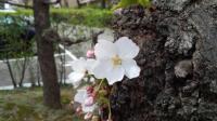 近所の桜 花