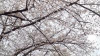 近所の桜 空