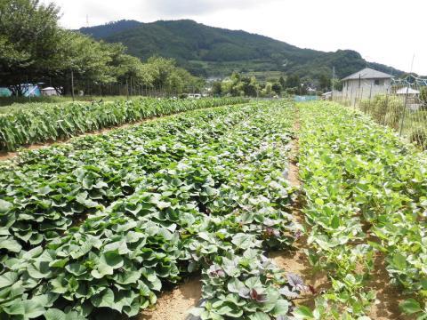 野菜畑88