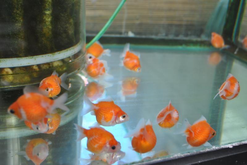 2/13 金魚坂:ピンポンパール