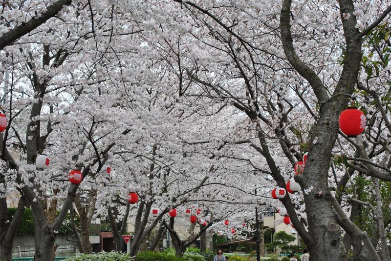 3/23 桜