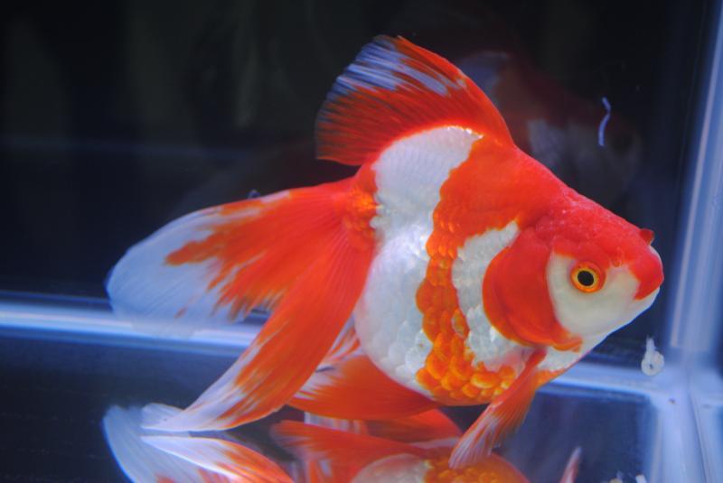 2012日本鑑賞魚フェア更紗流金1