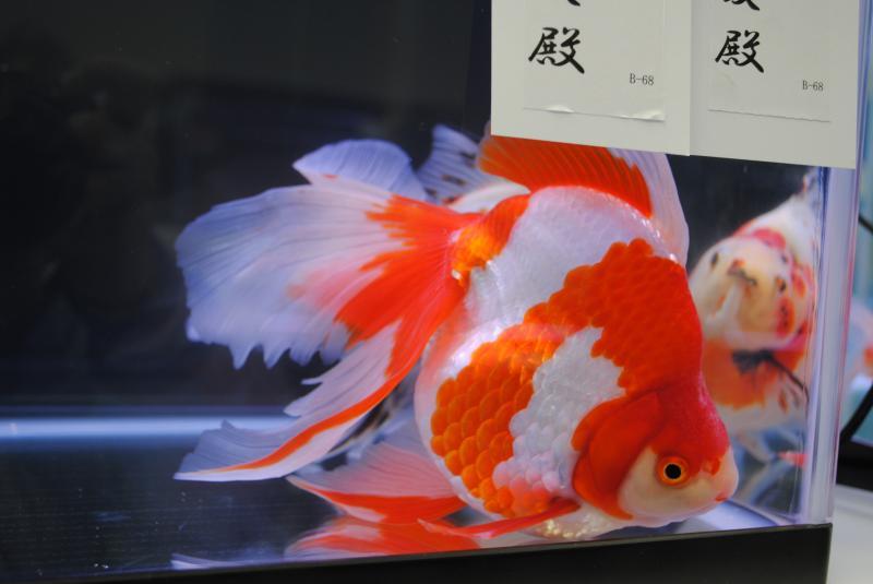 2012日本鑑賞魚フェア更紗流金4