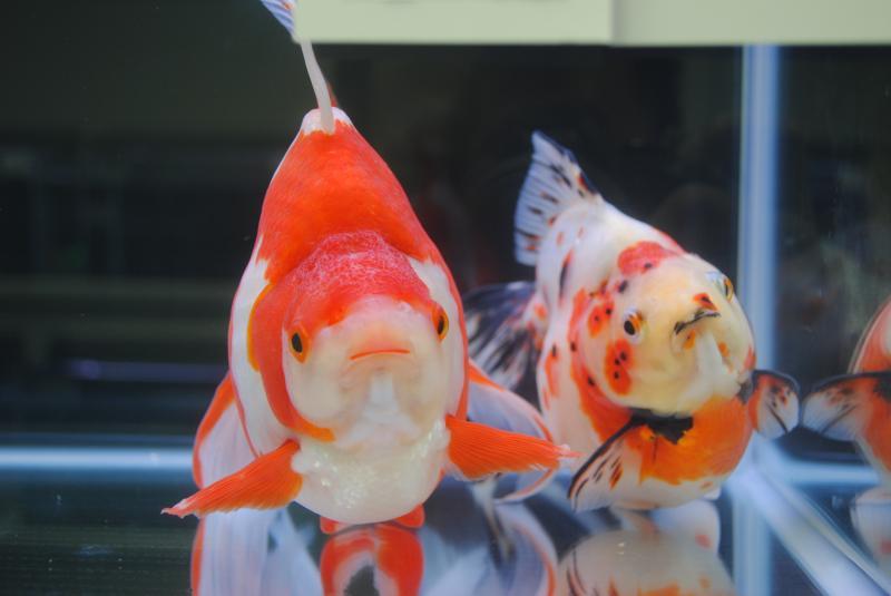 2012日本鑑賞魚フェア更紗流金5