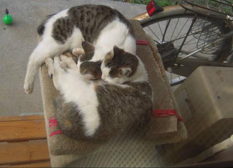 地域猫兄妹は寄り添いテラスに置いたキャットタワー上で寝てる所をデジカメ写真撮影した