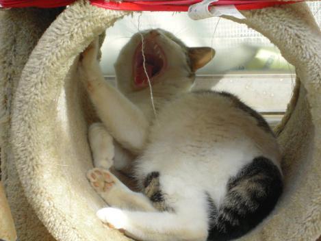 地域猫はキャットタワーで寝てたトコを起され大きなアクビをデジカメ写真撮影成功だ
