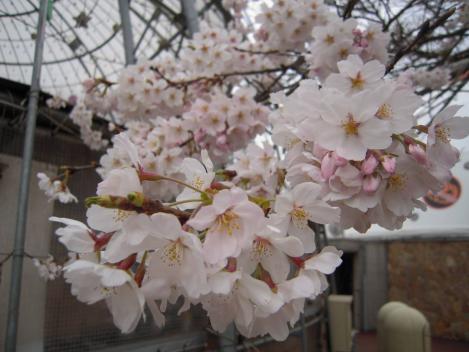 御殿場高原ビール内で桜をデジカメショットしました