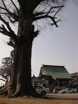 常福寺と大イチョウ