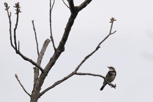 枝に止まってるツグミン