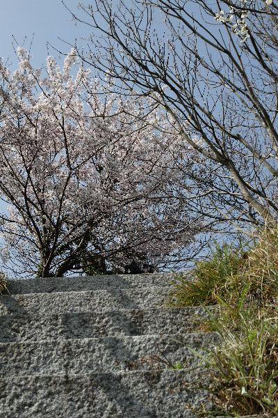 OshimaSakura06