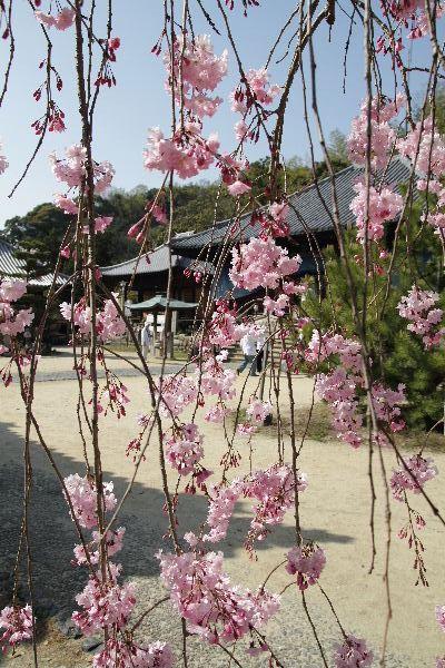 JyodojiSakura01