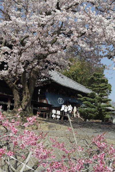 JyodojiSakura05