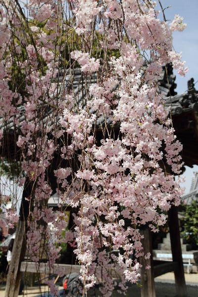 JyoudojiSsakura03