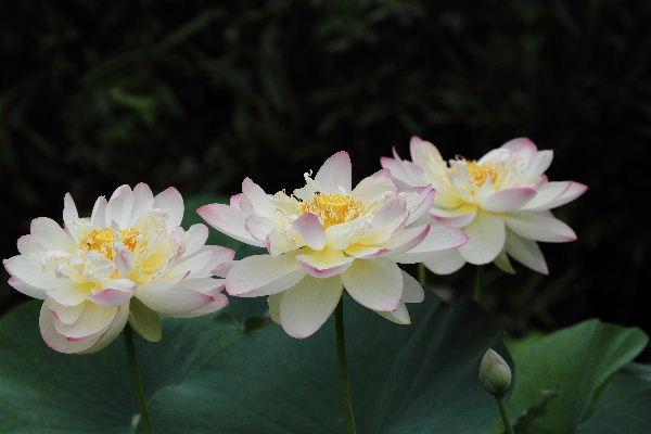 JyoururiHasu02
