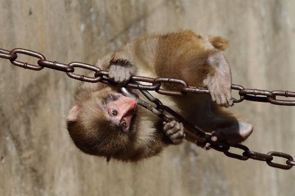 とべ動物園 ニホンザル 110309 003