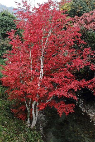TamagawaFall01