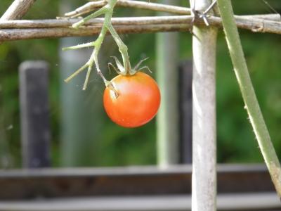 牧場_トマト