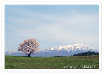 080429_sakura_ph.jpg