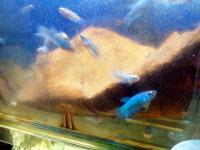 20100622/ベタ稚魚