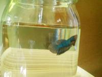 20100702/ベタ稚魚03