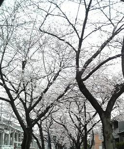 20130323桜