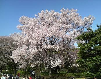 20130321桜