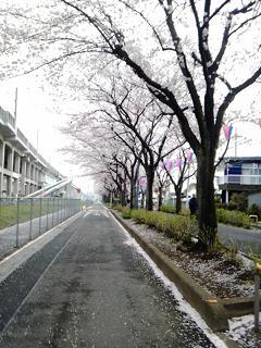 2013331桜