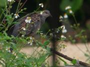 110426TurtleDove.jpg