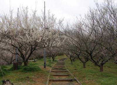 津山市神代梅の里公園梅開花状況(平成24年4月10日現在)
