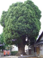 shimagashira4.jpg