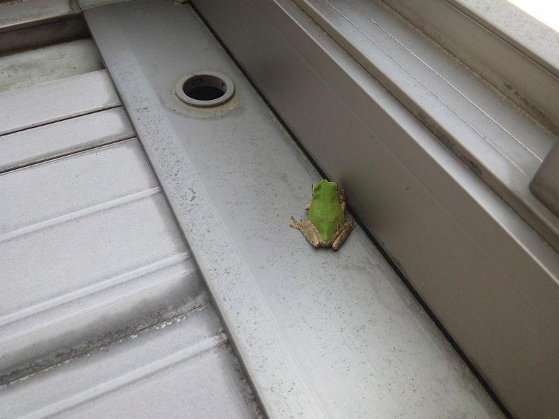 ベランダの蛙s