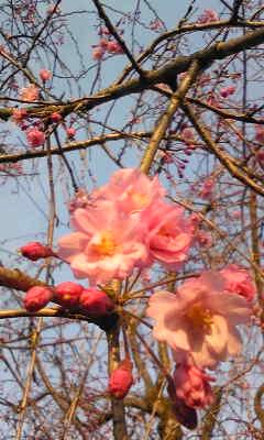 CA7XYXAK桜2
