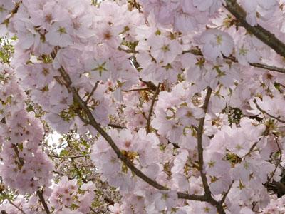 桜うつくし・・・