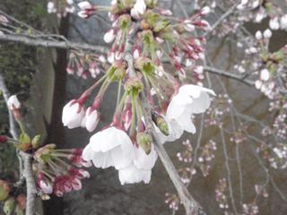 桜(2010.04.24.b)