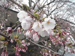 桜(2010.04.24)