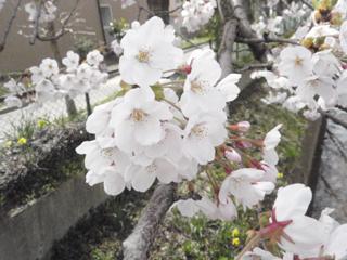 桜(2010.04.27a)