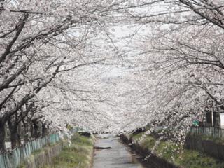 桜(2010.04.27c)