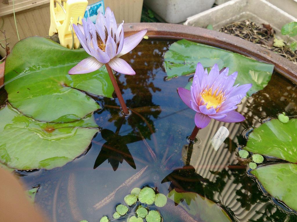 楊貴妃睡蓮鉢のティナ2輪咲き4日目と1日目