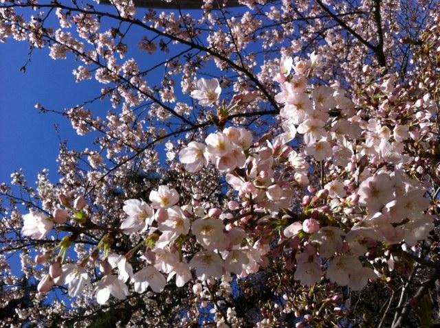 ぶんちゃんの桜2011年4月