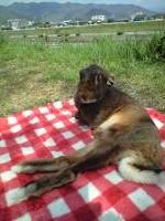 春、疎開先の山梨にて、ピクニックお花見中のべるちゃん