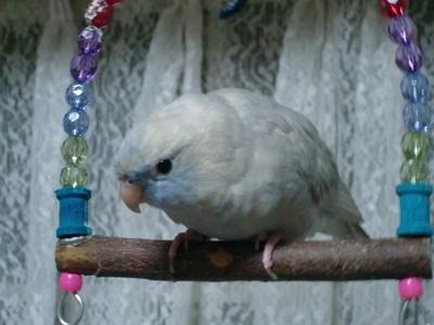Barred Parakeet