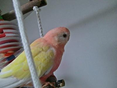 Bourke's Parakeet
