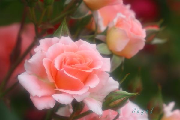 春バラ(2122)