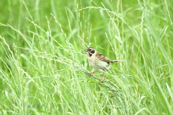 コジュリン幼鳥(3578)