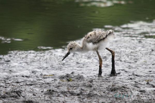 セイタカシギ幼鳥(3924)
