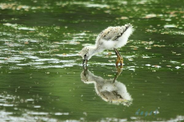セイタカシギ幼鳥(3907)