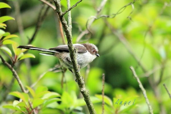 エナガ幼鳥(1225)
